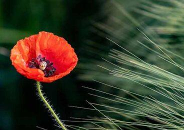 И цветет в огороде мак